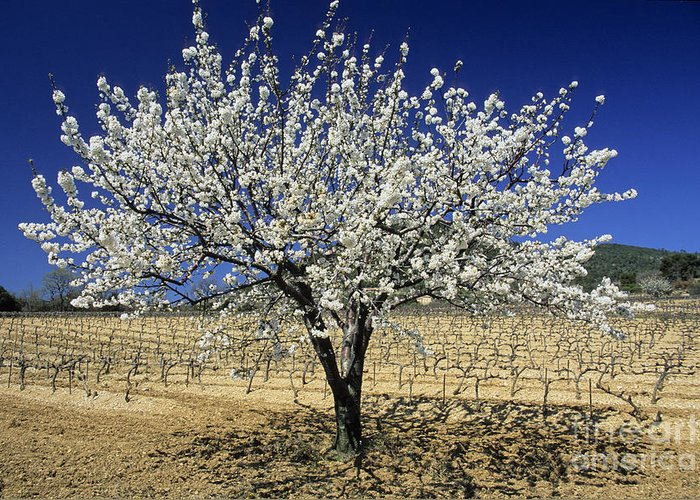 The Tourist Trade Greeting Card featuring the photograph Cherry Tree by Bernard Jaubert