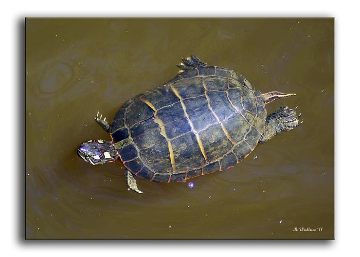 2d Greeting Card featuring the photograph Chester River Turtle by Brian Wallace