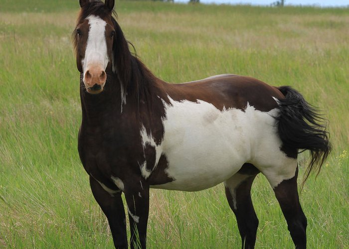 Brown Greeting Card featuring the photograph Chestnut Overo Paint Stallion by Karon Melillo DeVega
