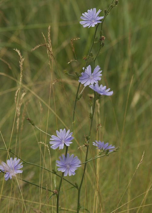 Azure Greeting Card featuring the photograph Chicory 2765 by Michael Peychich