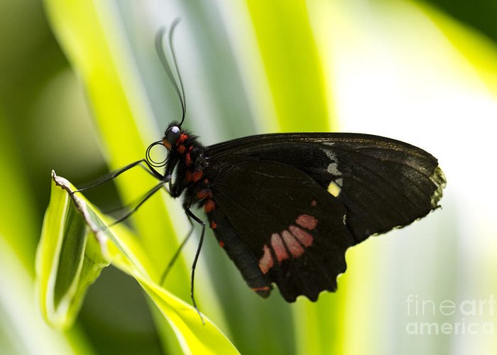 Butterfly Greeting Card featuring the photograph Chili by Leslie Leda