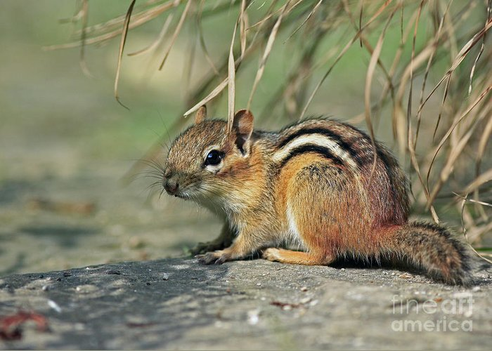 Chipmunk On A Warm Summer Evening Greeting Card featuring the photograph Chipmunk On A Warm Summer Evening by Inspired Nature Photography Fine Art Photography