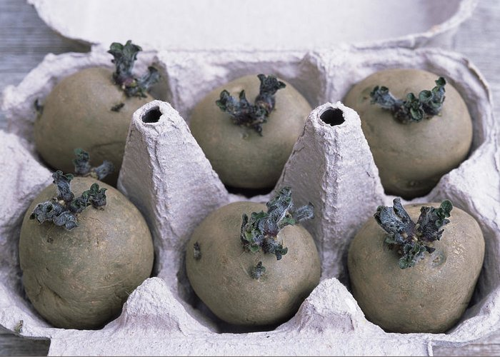'charlotte' Greeting Card featuring the photograph Chitted Potatoes In An Egg Box by Maxine Adcock