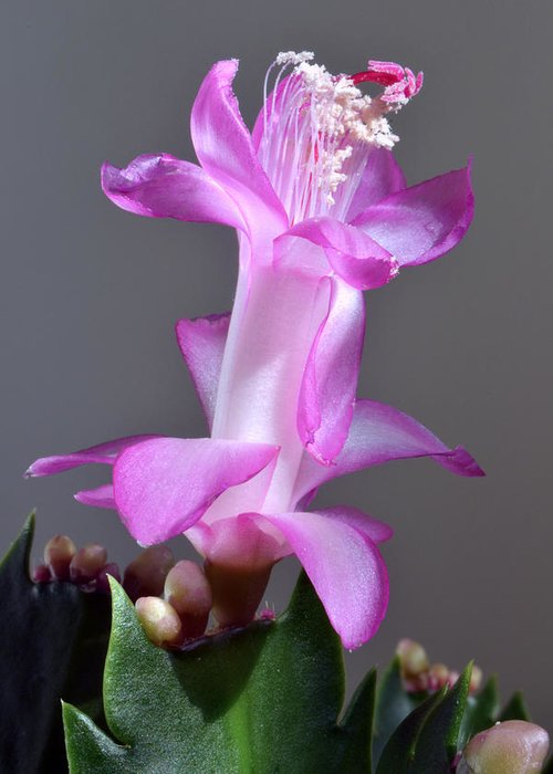 Christmas Cactus Greeting Card featuring the photograph Christmas Cactus by Terence Davis