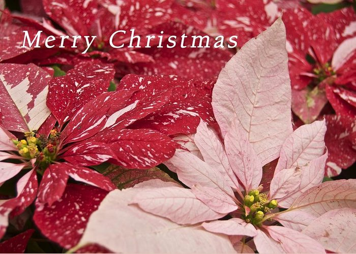 Christmas Greeting Card featuring the photograph Christmas Poinsettias by Michael Peychich