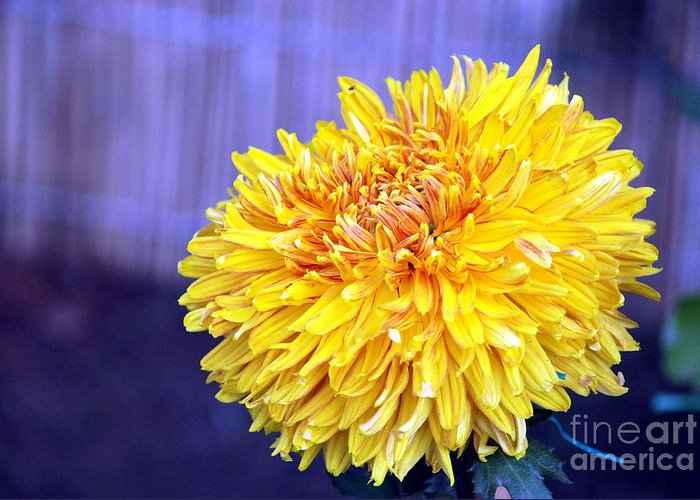 Flower Greeting Card featuring the photograph Chrysanthemum by Pravine Chester
