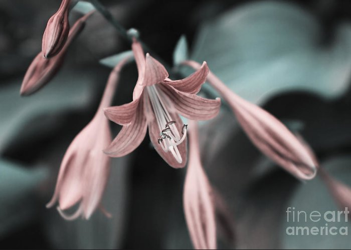 Lily Greeting Card featuring the photograph Cladis 23 by Variance Collections