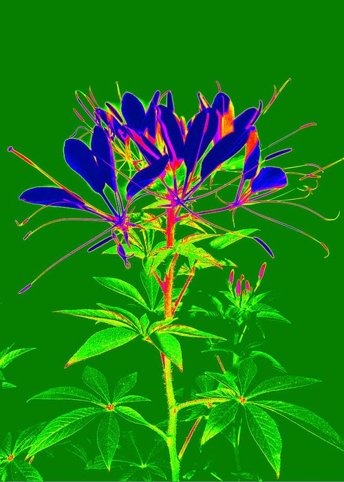 Computer Generated Flower Greeting Card featuring the photograph Cleome Gone Abstract by Kim Galluzzo Wozniak