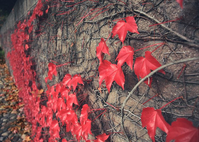 Red Ivy Greeting Card featuring the photograph Clinging by Laurie Search