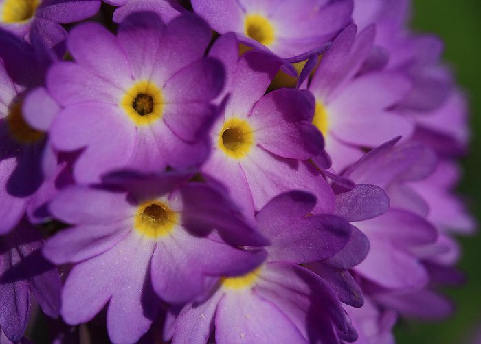 Day Greeting Card featuring the photograph Close Up Of A Cluster Of Purple by Joe Petersburger