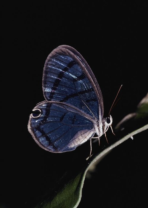 Wild Animals Greeting Card featuring the photograph Close-up Of A Glassy-wing Butterfly by Mattias Klum