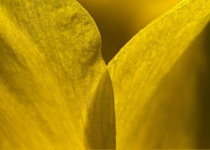 Daffodil Greeting Card featuring the photograph Close Up Of The Petals Of A Daffodil by Todd Gipstein