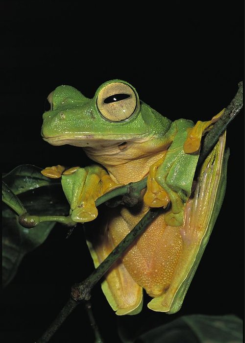 Asia Greeting Card featuring the photograph Close View Of A Wallaces Flying Frog by Tim Laman