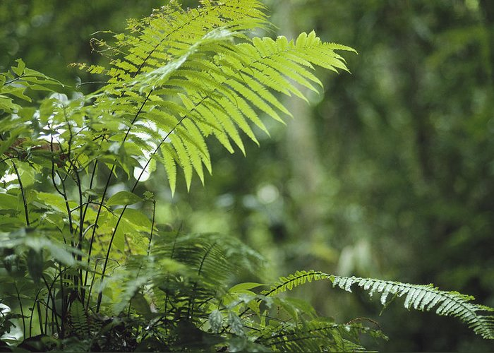 Plants Greeting Card featuring the photograph Close View Of Ferns In A Papua New by Klaus Nigge