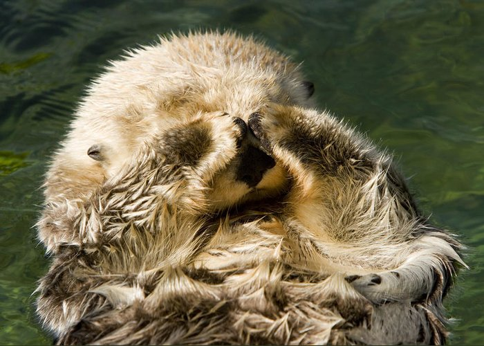 Cute Photographs Greeting Card featuring the photograph Closeup Of A Captive Sea Otter Covering by Tim Laman