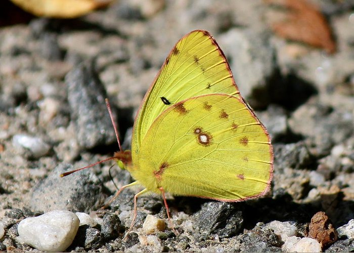 Nature Greeting Card featuring the photograph Clouded Sulphur by David Pickett