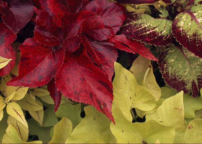 Outdoors Greeting Card featuring the photograph Coleus And Other Plants In A Window Box by Paul Damien