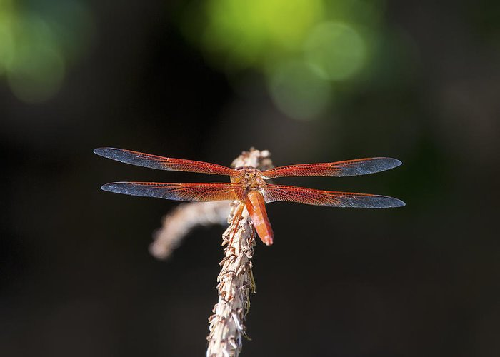 Dragonfly Greeting Card featuring the photograph Colorful Dragon by Tim North
