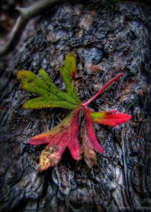 Sierra Prieta Mountains Greeting Card featuring the photograph Colorful Fallen Leaf by Aaron Burrows