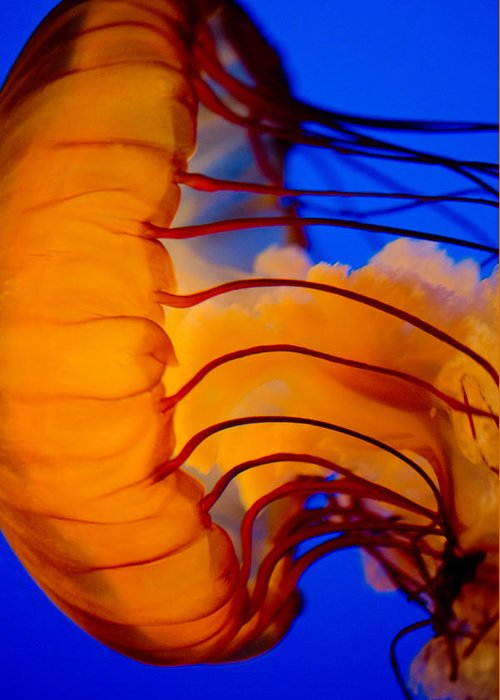 Jelly Fish Greeting Card featuring the photograph Colours Of The Jelly Fish 3 by Naman Imagery