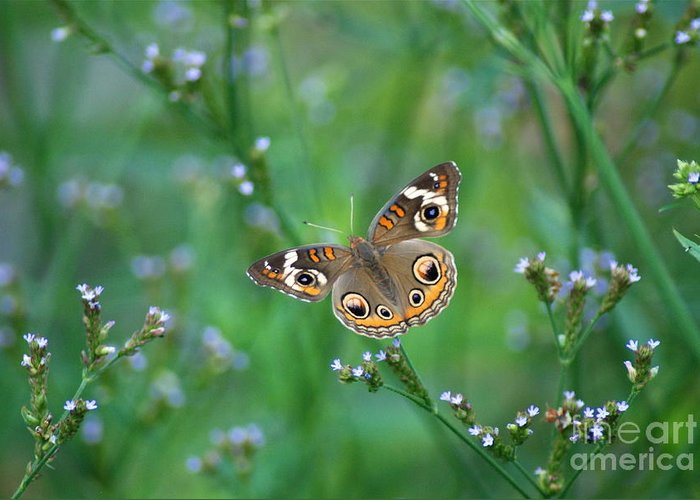 Common Buckeye Butterfly Greeting Card featuring the photograph Common Buckeye by Kathy Gibbons