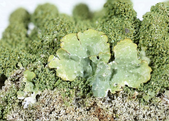 Common Greenshield Greeting Card featuring the photograph Common Greenshield Lichen by Ted Kinsman