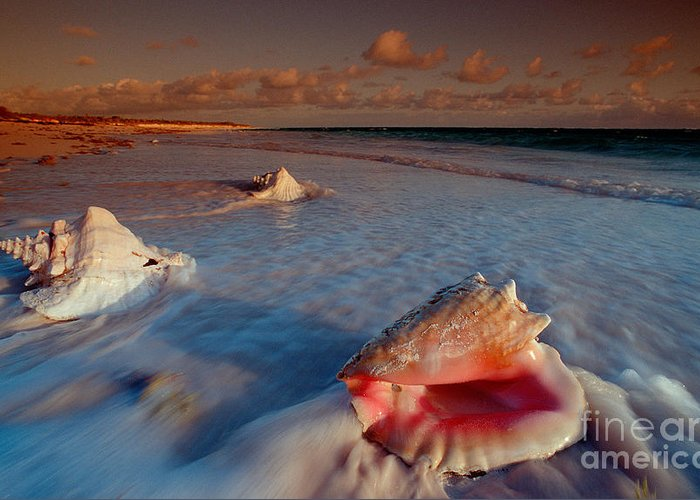 Ashore Greeting Card featuring the photograph Conch Shell On Beach by Novastock and Photo Researchers