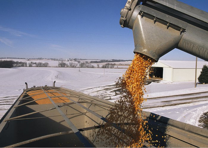 North America Greeting Card featuring the photograph Corn Pours From An Auger Into A Grain by Joel Sartore