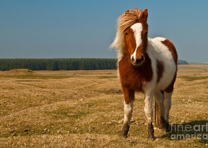 Pony Greeting Card featuring the photograph Cornish Pony by Rob Hawkins