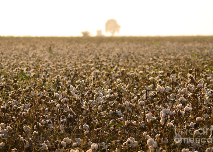 Spain Greeting Card featuring the photograph Cotton Field Donana Spain by Perry Van Munster