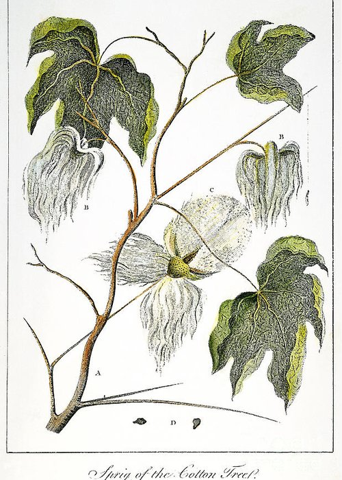 1796 Greeting Card featuring the photograph Cotton Plant, 1796 by Granger