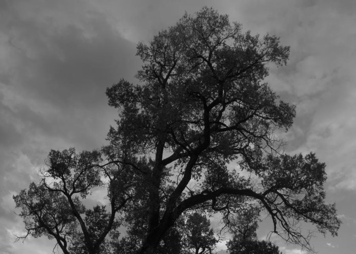 Tree Greeting Card featuring the photograph Cottonwood Silhouette by Amara Roberts