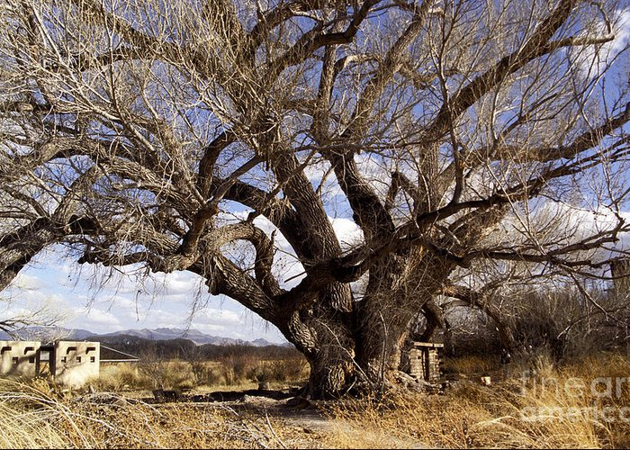 Trees Greeting Card featuring the photograph Cottonwood Tree At San Pedro House by Kathy McClure