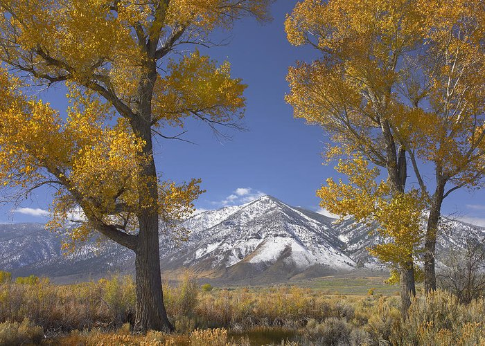 00175136 Greeting Card featuring the photograph Cottonwood Trees Fall Foliage Carson by Tim Fitzharris