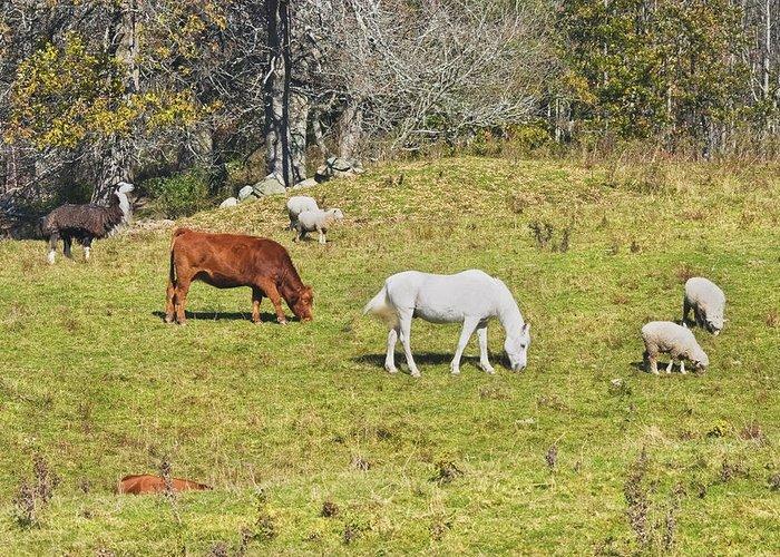 Cow Horse Sheep Grazing On Grass Farm Field Maine Greeting Card
