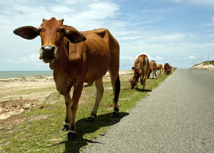 Cow Greeting Card featuring the photograph Cows At The Sea by Thuy Tran