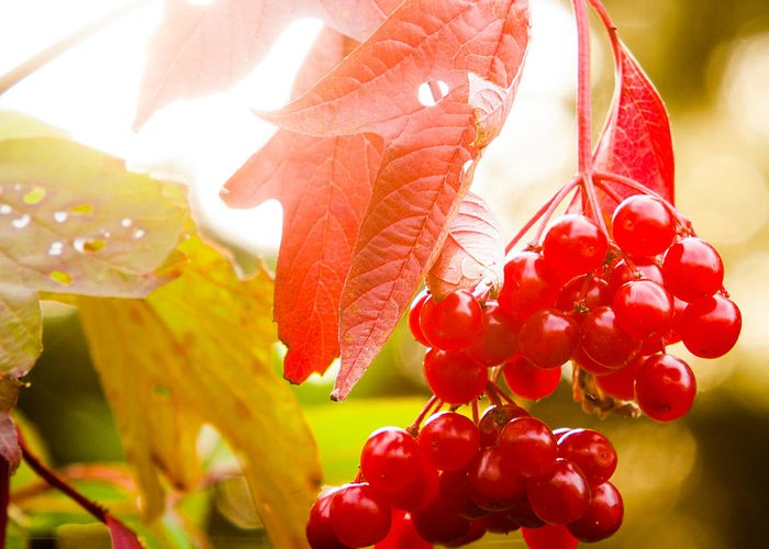 Cranberry Greeting Card featuring the photograph Cranberry Bliss by Matt Dobson