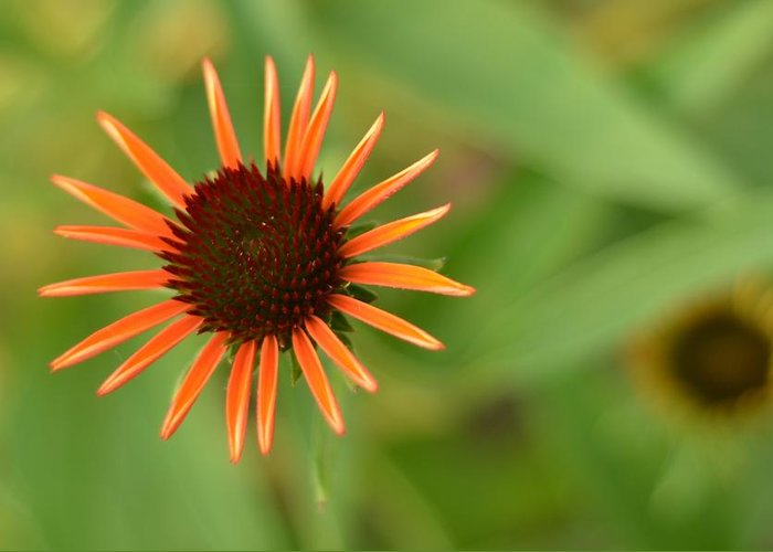 Orange Greeting Card featuring the photograph Crazy Coneflower Patch by Maria Suhr