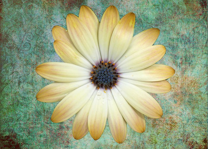 Daisy Greeting Card featuring the photograph Cream Coloured Daisy by Chris Thaxter