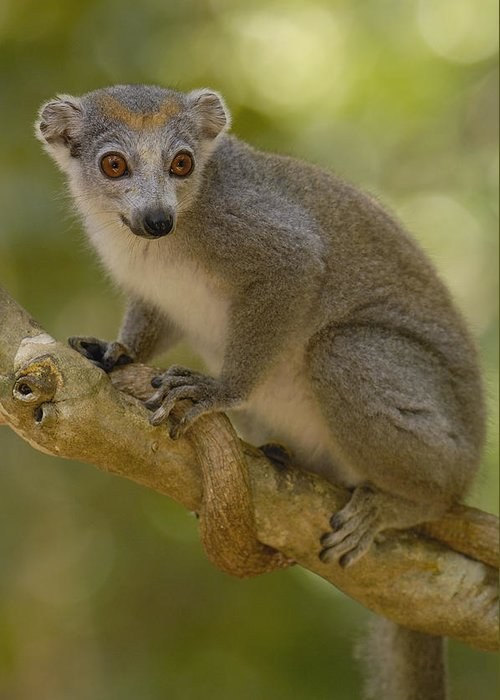 Mp Greeting Card featuring the photograph Crowned Lemur Eulemur Coronatus Female by Pete Oxford