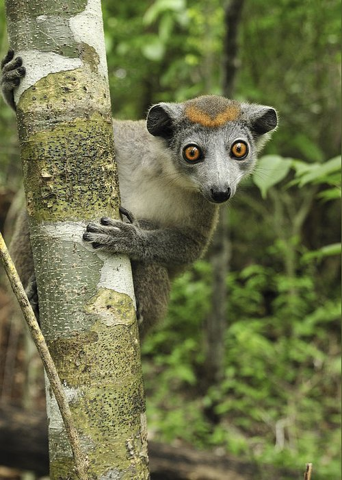 Mp Greeting Card featuring the photograph Crowned Lemur Eulemur Coronatus Female by Thomas Marent
