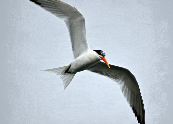 Tern Greeting Card featuring the photograph Cruising by Fraida Gutovich