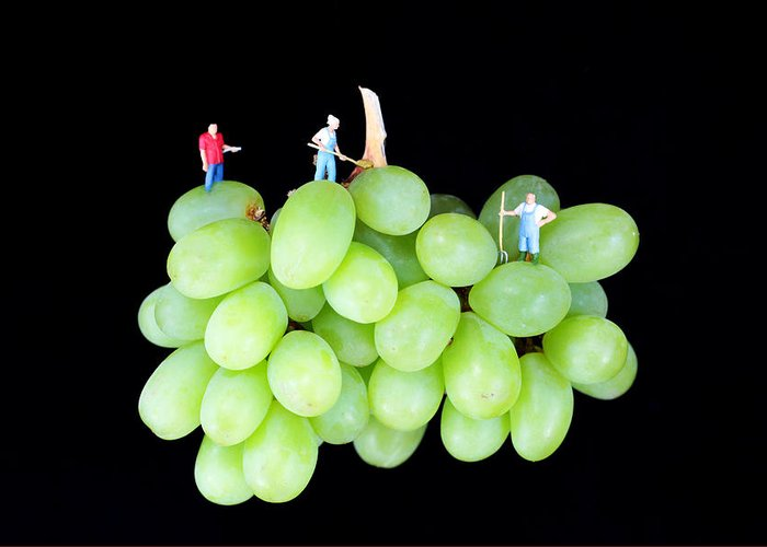 Grape Greeting Card featuring the photograph Cultivation On Grapes by Paul Ge
