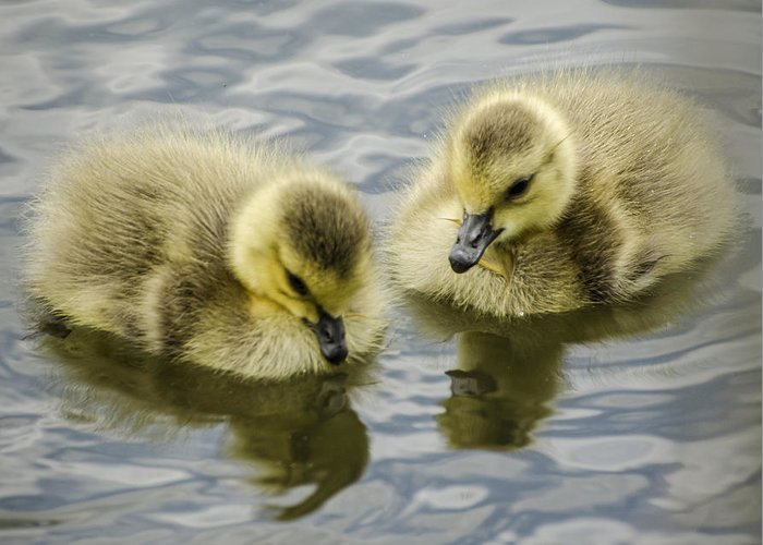 Duckling Greeting Card featuring the photograph Curiosity by Heather Applegate