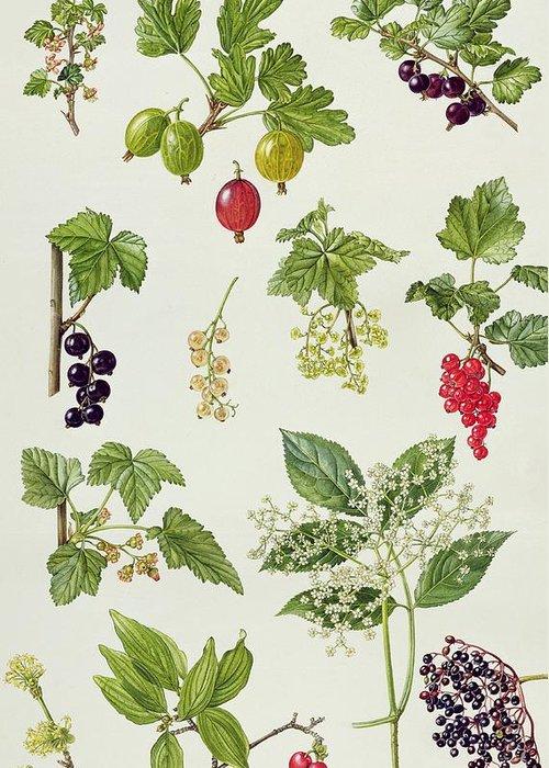Worcesterberry; Elderberry; Black; White; Red; Cornelian Cherry; Elderflower; Fruit; Leaves; Botanical; Carnelian; Berries; Flower Greeting Card featuring the painting Currants And Berries by Elizabeth Rice