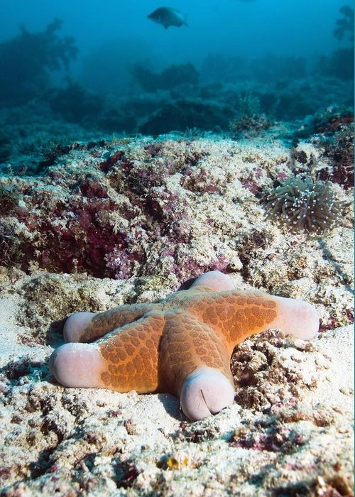 Cushion Star Greeting Card featuring the photograph Cushion Star Starfish by Georgette Douwma