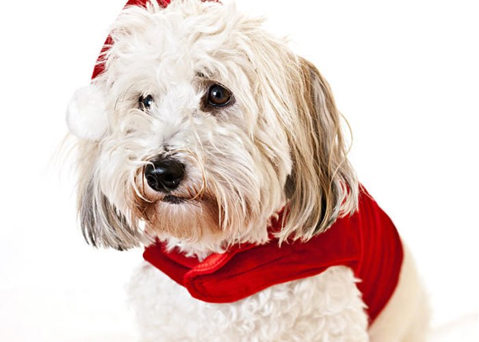 Dog Greeting Card featuring the photograph Cute Dog In Santa Outfit by Elena Elisseeva