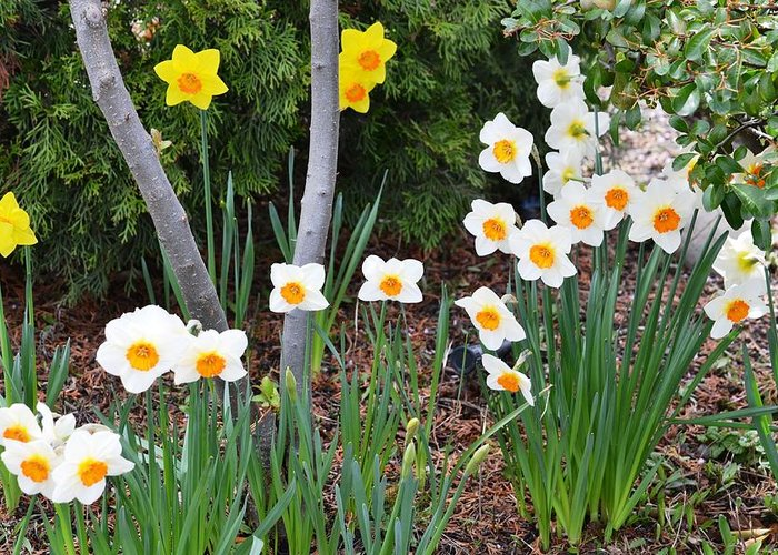 Daffodil Greeting Card featuring the photograph Daffodil Garden by P S