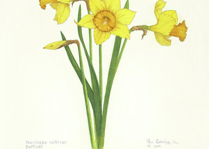 Daffodils Greeting Card featuring the painting Daffodils by Bill Gehring