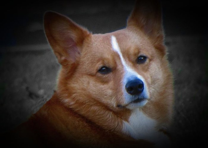 Corgi Greeting Card featuring the photograph Daisie Our Corgi by David Dehner
